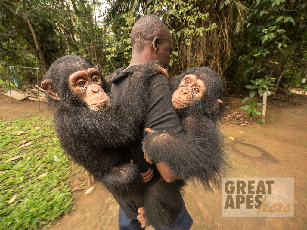 keeper Romain with orphan babies Daphne and Larry, chimpanzee, Ape Action Africa