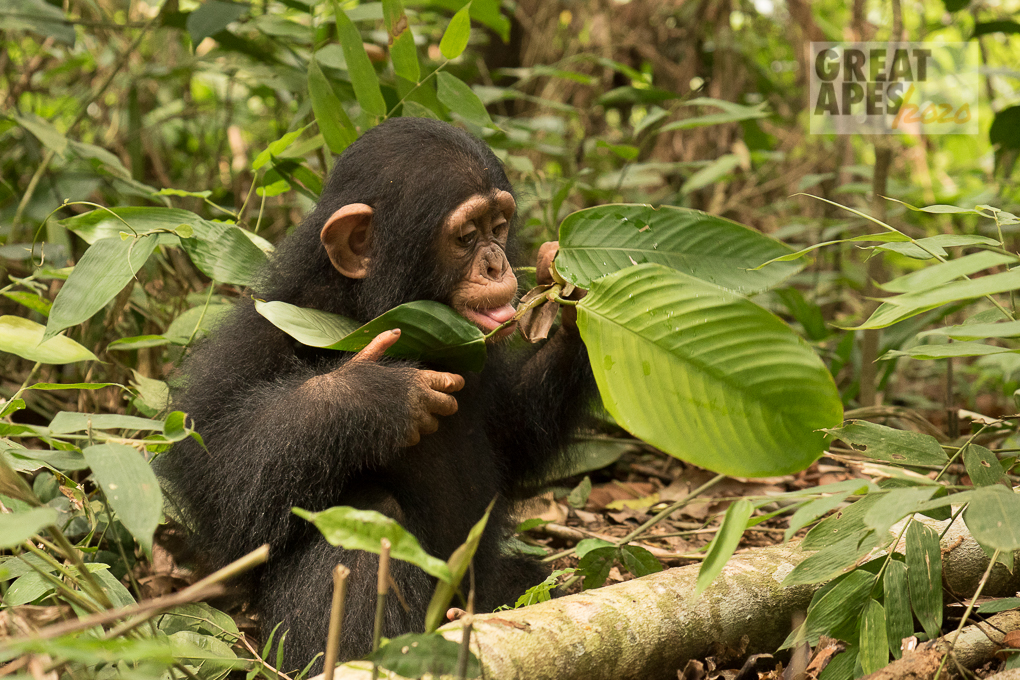 chimpanzee Ape Action Africa great apes