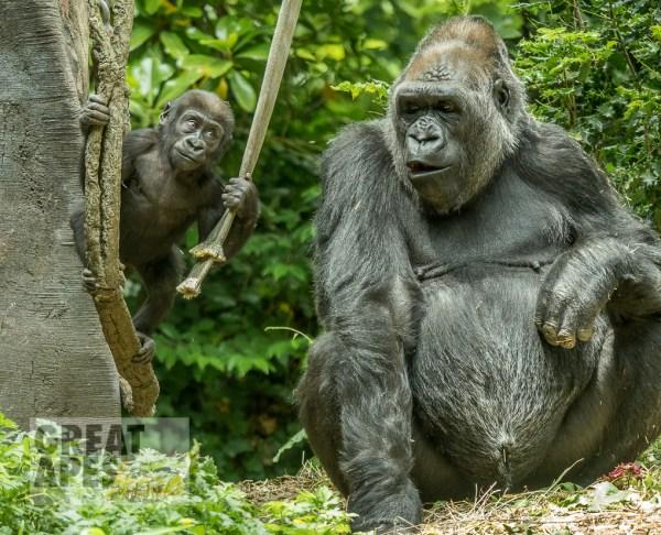Baby Yola, seven month old Western lowland gorilla, Woodland Park Zoo