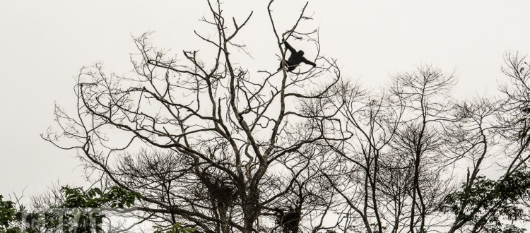 Western lowland gorilla climbing in rainforest tree top, Cameroon