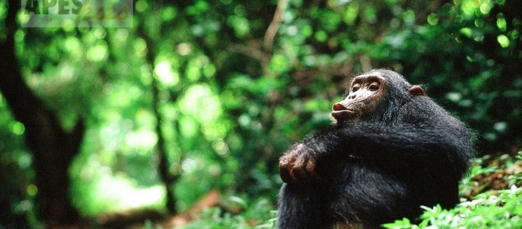 pan hooting Eastern chimpanzee (Pan troglodytes)