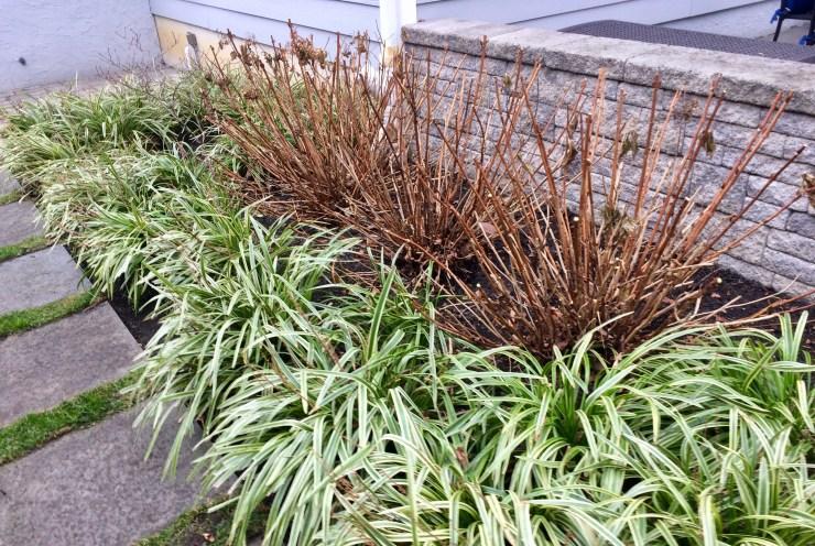 Light pruning of hydrangea shrubs