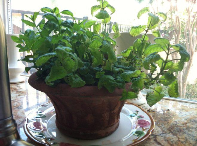 Kitchen herb garden in garden window.