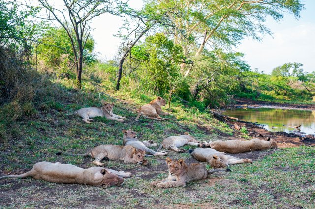 A pride of lions at Thanda Safari Lodge, a 14 000-hectare Big Five private game reserve owned by Swedish IT entrepreneur Dan Olofsson in northern Zululand, South Africa.