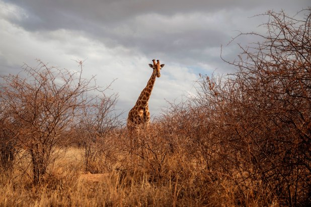 A giraffe is seen during a guided safari tour at the Dinokeng Game Reserve outside Pretoria, on Aug. 7, 2020.