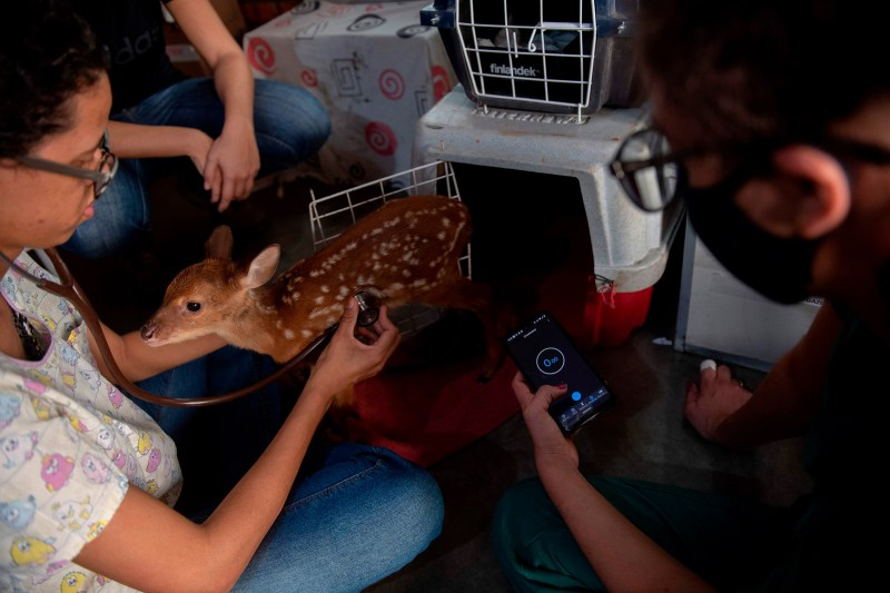 A deer receives care in Brazil's Mato Grosso state on Sept. 17, 2020.