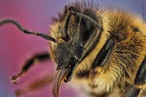 Detalle del probóscide de una abeja mellifera