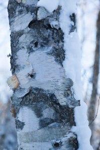 birch trees are beautiful!