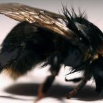 Les abeilles sont menacées d'extinction en Europe