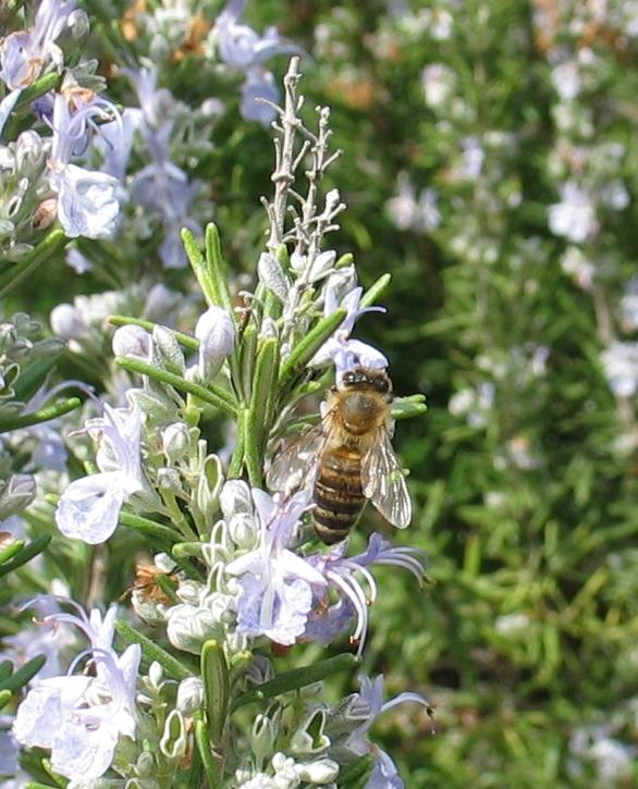 Albina pe floare de Rosmarin la Atena in 2004