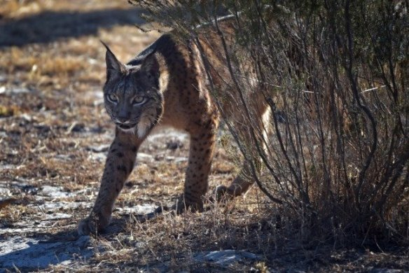 How Spain is helping the Iberian lynx to claw back from the brink of extinction