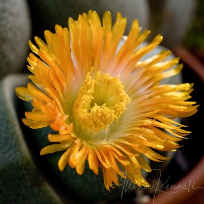 Macro of succulent lithops flower
