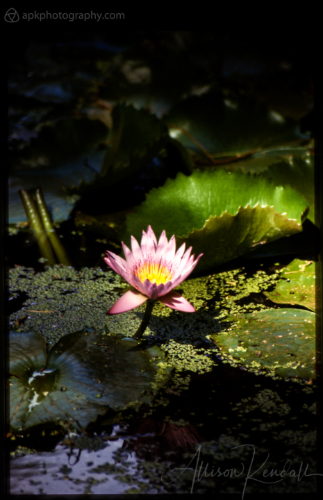Film photography of a pink lotus flower and green leaves in a shadowy pond