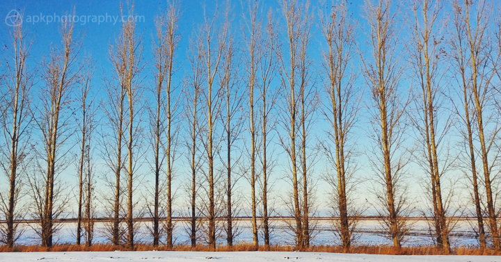 Line of trees in snow at sunset, Manitoba