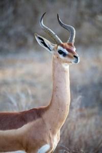 Gerenuk impala