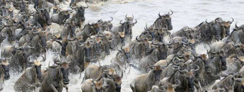 Travel News Wilderbeeste Migration Maasai Mara