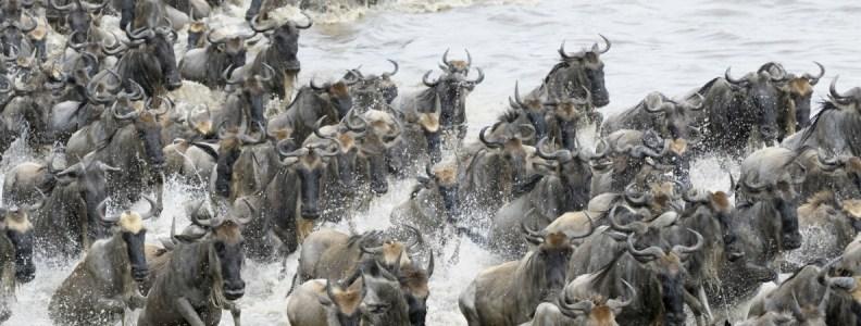 Travel News Wilderbeeste Migration Maasai Mara