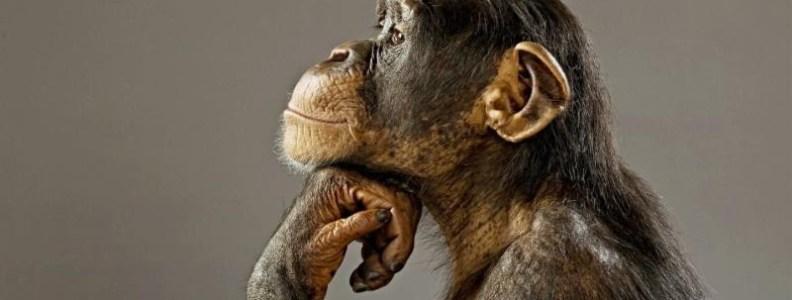 October 2016 Newsletter Chimpanzee