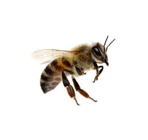 Apitherapie - Die Heilkräfte der Biene