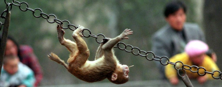 chinese-us-researchers-create-monkeys-with-human-like-brain-development