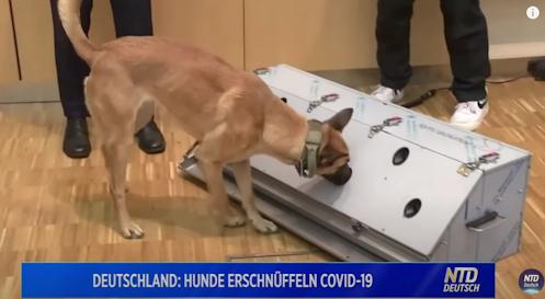 duitsland-traint-honden-om-mensen-met-covid-te-herkennen-–-xandernieuws