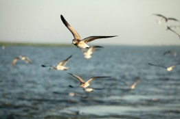 The shrimpers are followed by crowds of gulls.