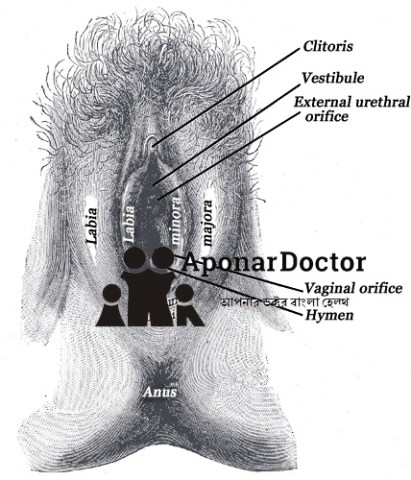 External genital organs of female. The labia minora have been drawn apart.
