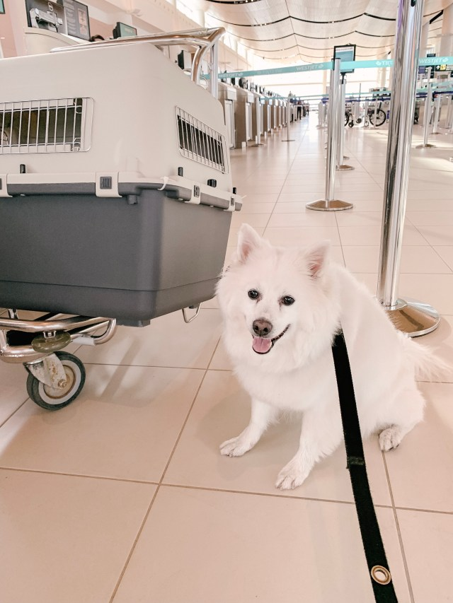 American Eskimo dog in Winnipeg airport