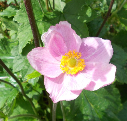 blog anemone 2