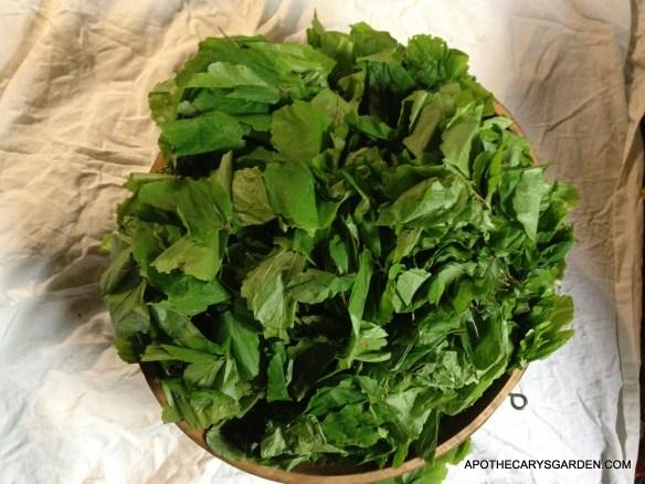 Witch Hazel, Hamamelis Virginiana- Fresh harvested Leaf & Twig-Green Medicine
