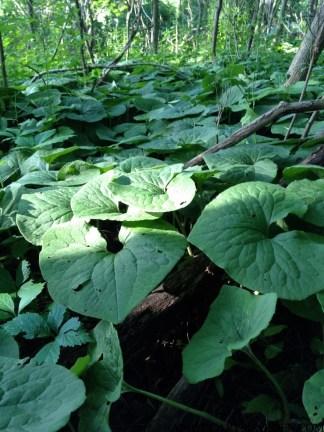 Wild Ginger - Asarum Canadense,Ontario