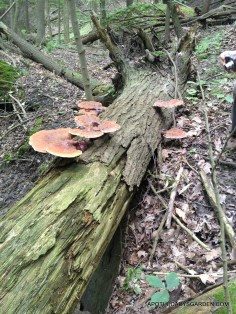 A beautiful flush of healing Reishi Mushrooms Dundas 3013