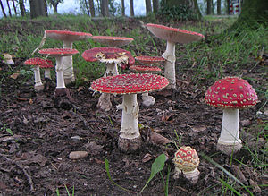 Amanita muscaria mushrooms in a group