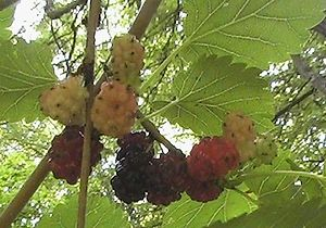 English: Photo of mulberries in various stages...