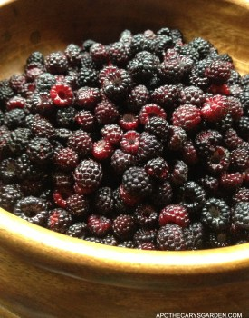 Wild Raspberries, First hunt and harvest Dundas Ontario