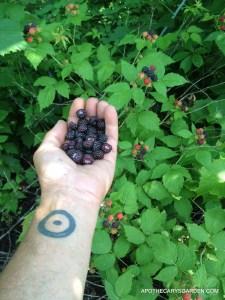 The Perfect Cornucopia, Wild Raspberries, Dundas Ontario