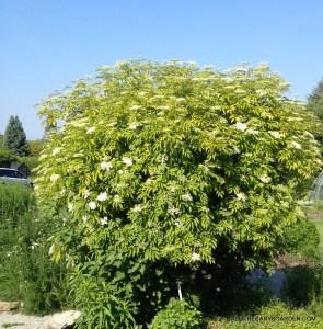 Elderberry wine, or Elderflower syrup?Elderflowers, Sambucus Canadensis, Apothecary's Garden, Hamilton