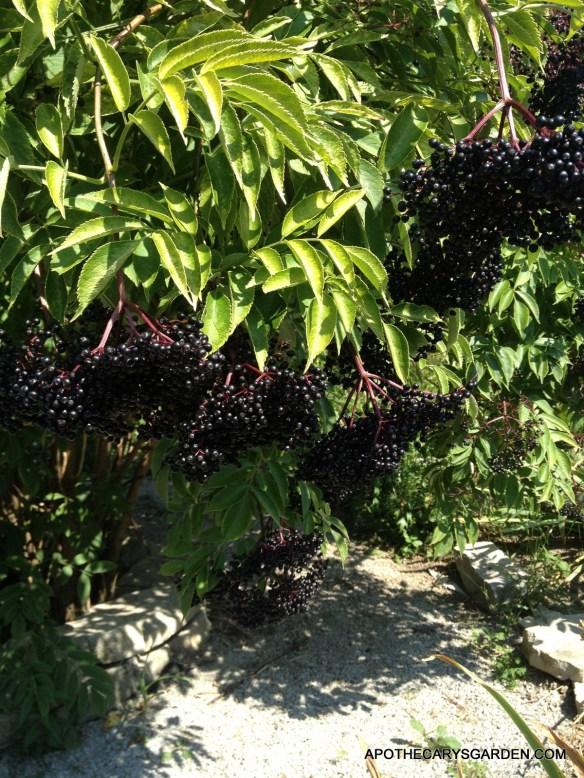 Elderberry wine, Berries must be fully ripe. Elderbarries-Apothecary's Garden 2013