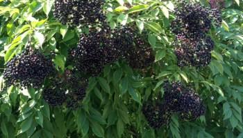 Eldeberry Wine-Perfectly ripe Elderberries-Apothecary's Garden 2013