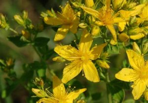 St. John's Wort. Many thousands of tons are collected yearly for herbal medicne.