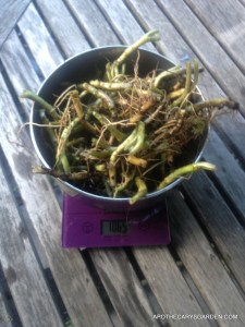 Wild Ginger, washed, weighed and ready