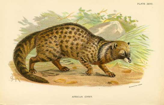 African Civet wikipedia