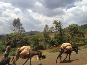 Reliable and highly valued beasts of burden are well cared for in Ethiopia