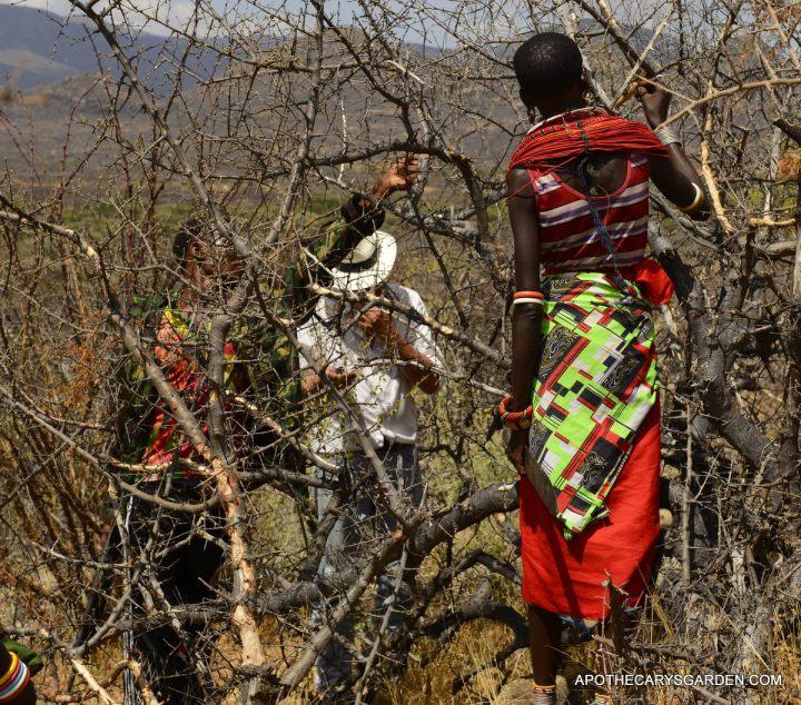 Boswellia neglecta, Samburu