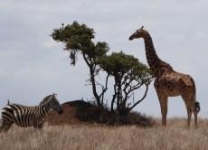 giraffes1