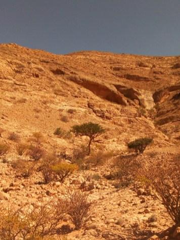 Boswellia Carterii trees in the mountains of Somalia.