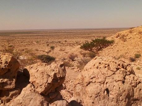 Boswellia/Frankincense Carterii growing in Somalia