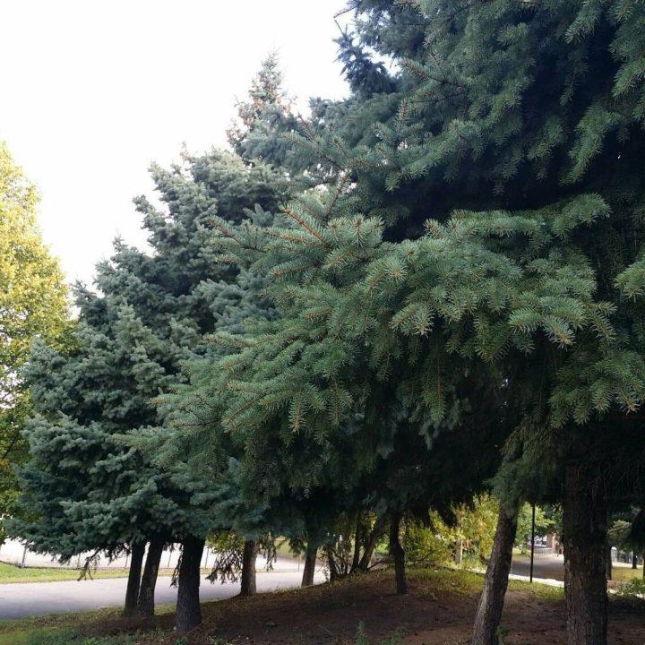 Spruce, Pine, respiratory relieg, Chest Rub, Cough Balm, DIY, www.apothecarysgarden.shop