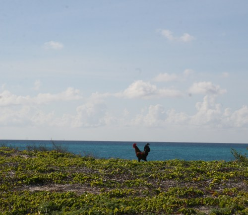 Beach Rooster