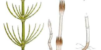 Ackerschachtelhalm-Equisetum_arvense